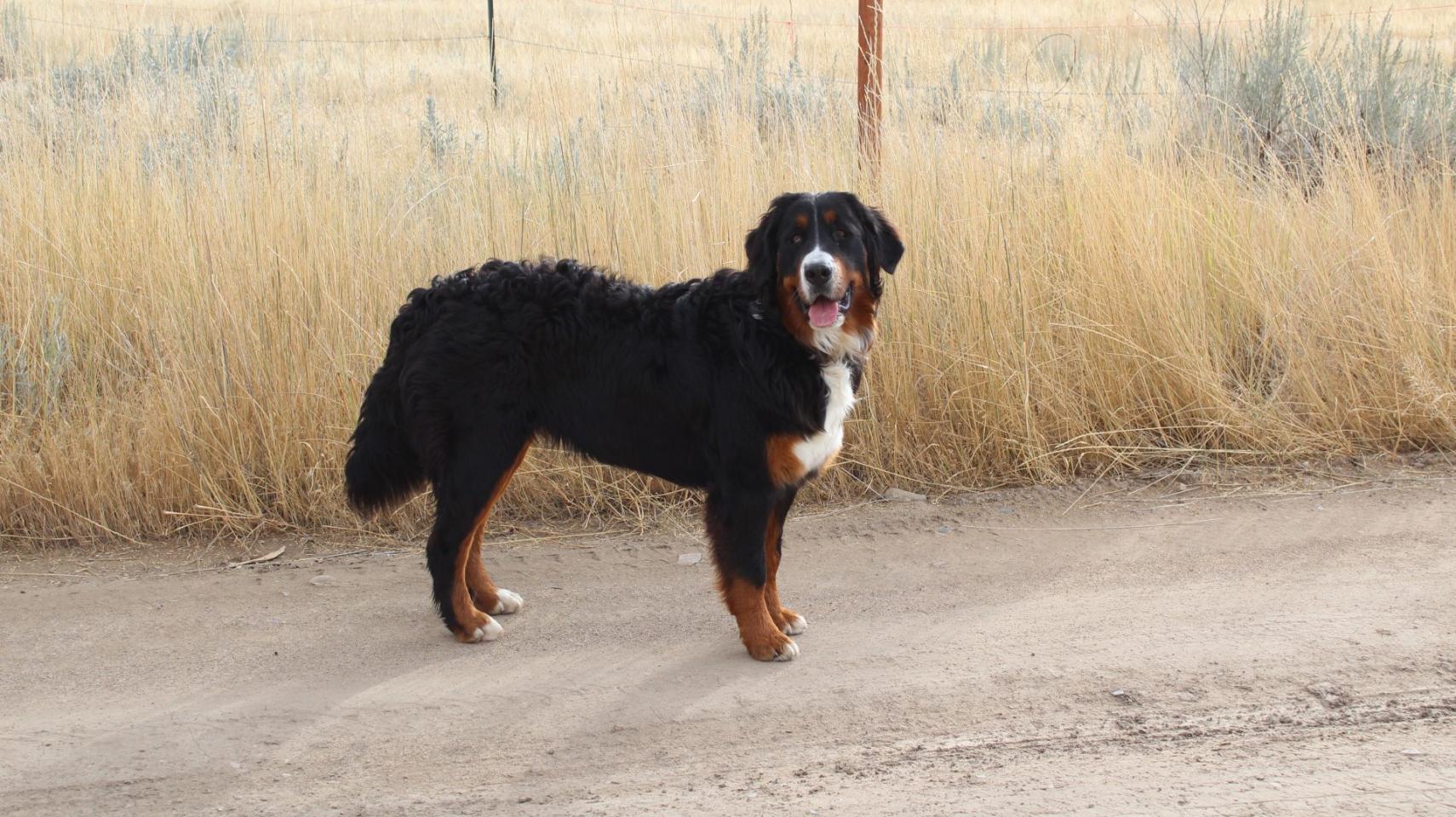 Montana Berners – Bernese Mountain Dogs in Bozeman, Montana.