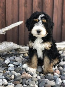Bernese Mountain Dogs and Bernedoodles of Montana | Montana