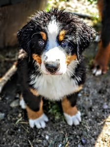 Montana Berner's - Breeders of exceptional Bernese Mountain Dogs
